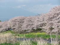 Sakura16